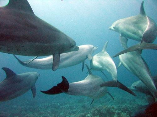 Bottlenose dolphins off the coast of Cornwall, UK