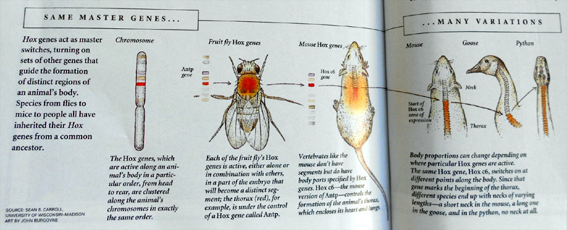 larvae show an interesting link - vertebrate are common to many species ... taken from National Geographic, November 2006, artwork by John Burgoyne